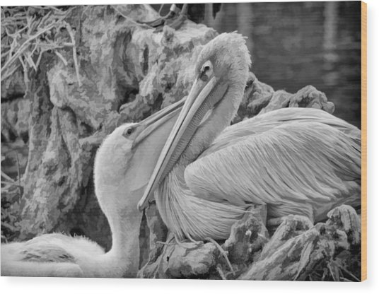 Baby White Pelican Talks To Mother White Pelican Wood Print