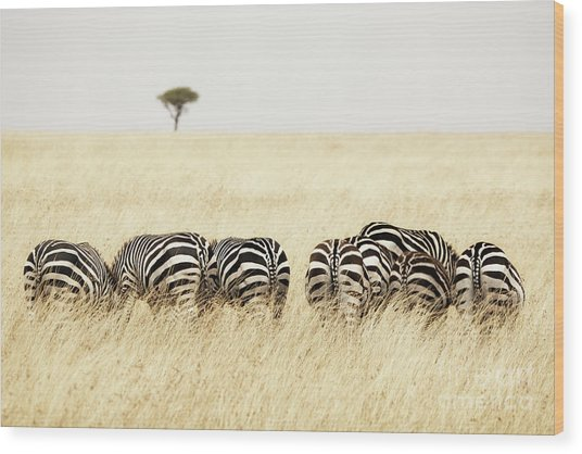 Back View Of Zebras In A Row  Wood Print