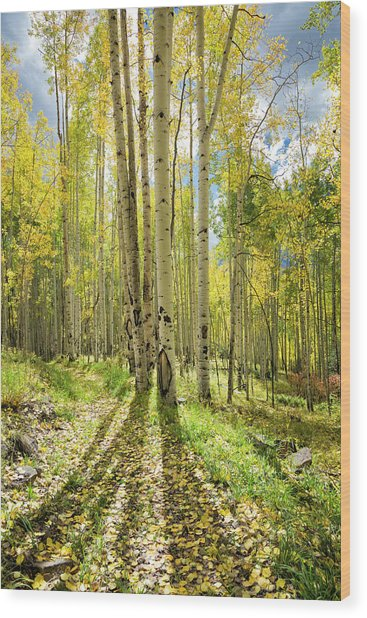 Backlit Aspen Trail Wood Print