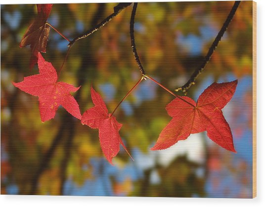 Backlit Glowing Red Maple Leaves Wood Print
