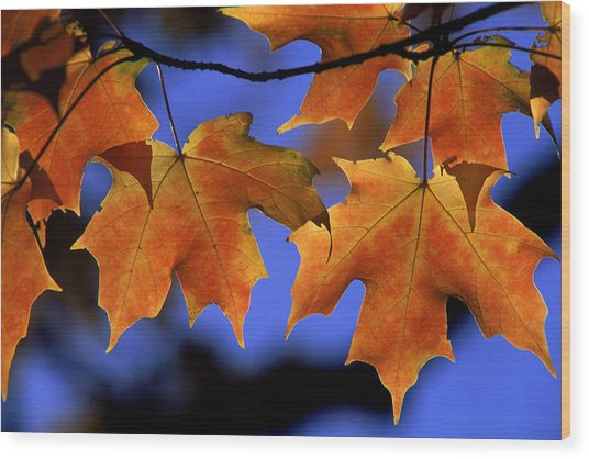 Backlit Maple Leaves Wood Print by Paul Pobiak