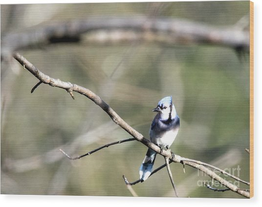 Backyard Blue Jay Wood Print