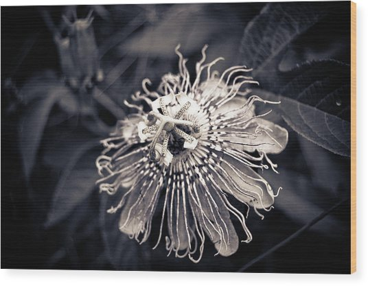 Clematis Flower Bloom Wood Print