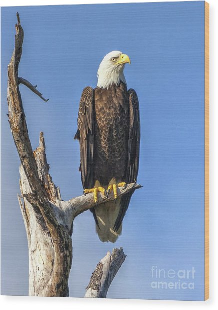 Bald Eagle 6366 Wood Print