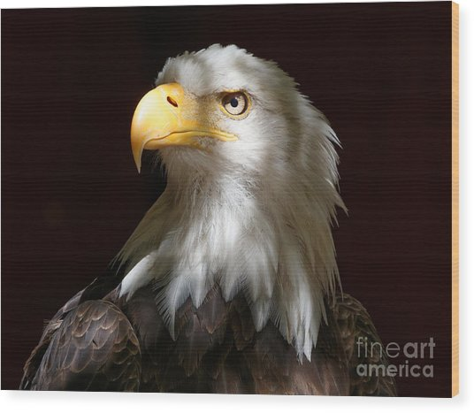 Bald Eagle Closeup Portrait Wood Print