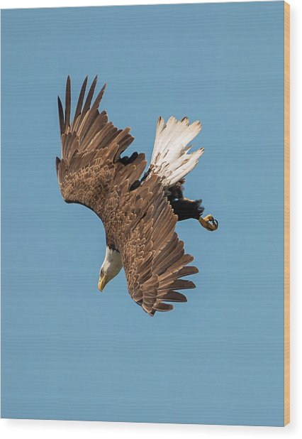Bald Eagle Dive Wood Print