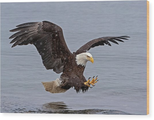 Bald Eagle Diving For Fish In Falling Snow Wood Print