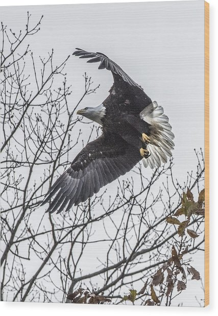 Bald Eagle Flying Wood Print