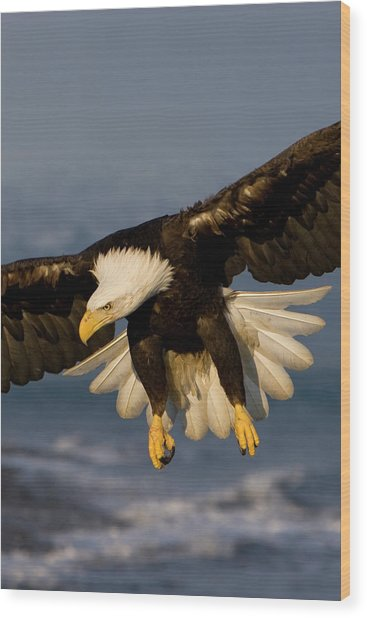 Bald Eagle In Action Wood Print