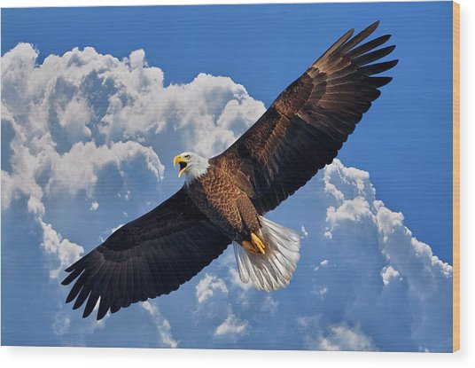 Bald Eagle In Flight Calling Out Wood Print