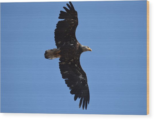 Bald Eagle Juvenile Soaring Wood Print
