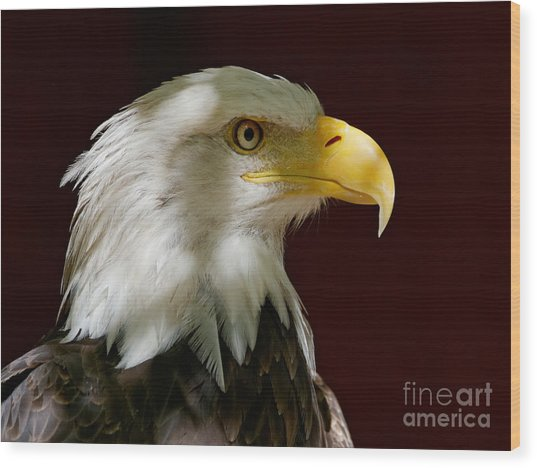 Bald Eagle - Majestic Portrait Wood Print
