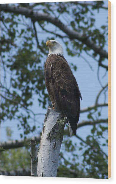 Bald Eagle On The Brule Wood Print