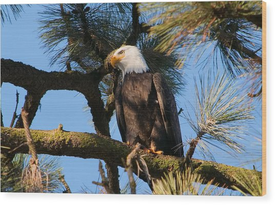 Bald Eagle Perch Wood Print