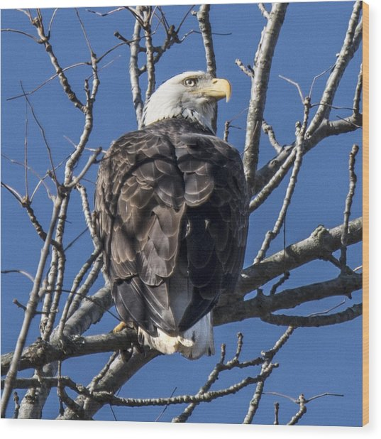 Bald Eagle Perched Wood Print