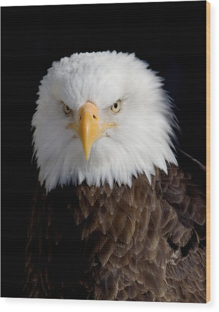 Bald Eagle Portrait Wood Print by Laurie With