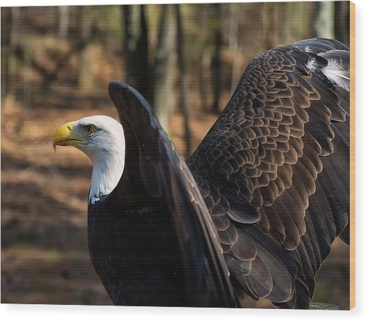 Bald Eagle Preparing For Flight Wood Print