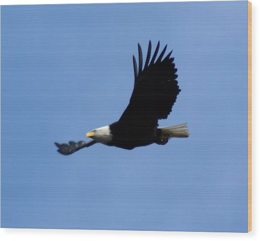 Bald Eagle Soaring High Wood Print