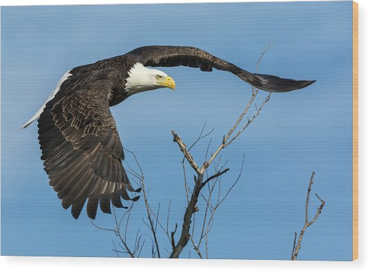 Bald Eagle Swoosh Wood Print