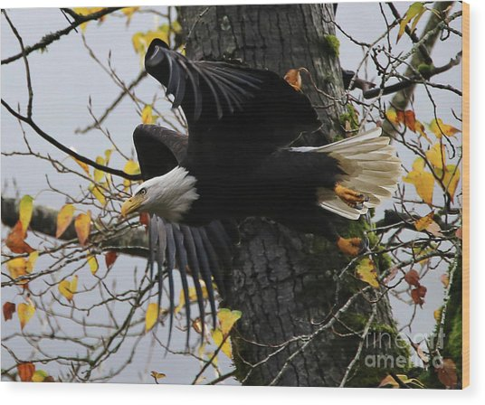 Bald Eagle Takes Flight Wood Print