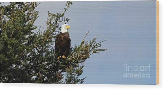Bald Eagle - Taking A Break Wood Print