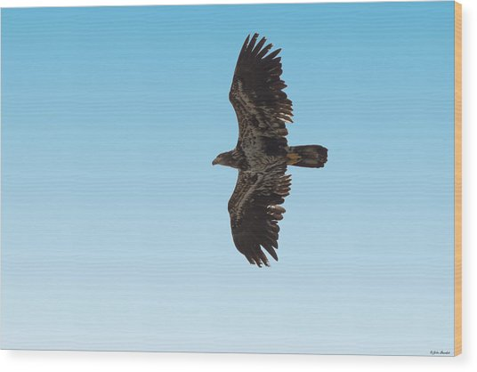 Bald Eaglet Wood Print