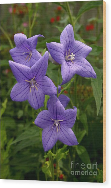 Balloon Flowers Wood Print