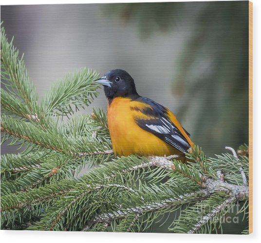 Baltimore Oriole Wood Print by Ricky L Jones