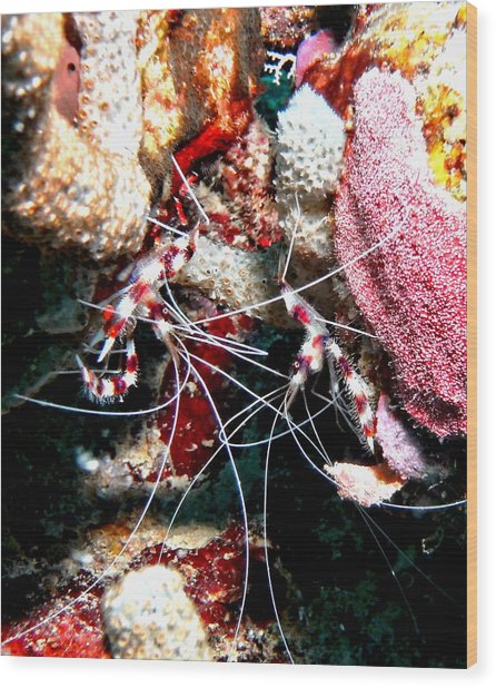 Banded Coral Shrimp - Caught In The Act Wood Print