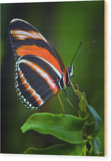Banded Orange Longwing Butterfly Wood Print