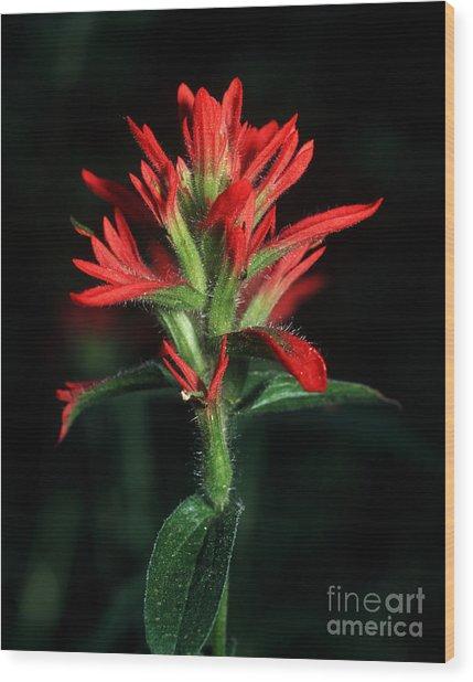 Banff - Indian Paintbrush 4 Wood Print