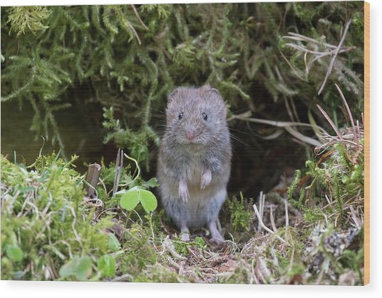 Wood Print featuring the photograph Bank Vole - Scottish Highlands by Karen Van Der Zijden
