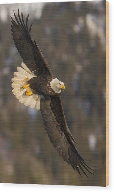 Banking Bald Eagle Wood Print