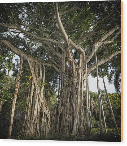 Wood Print featuring the photograph Banyan Tree At Bonnet House by Belinda Greb