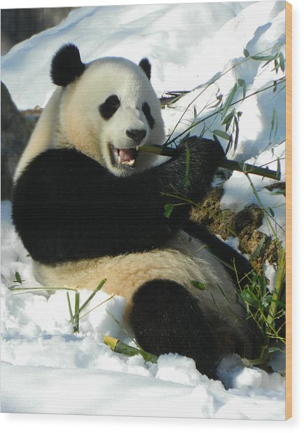 Bao Bao Sittin' In The Snow Taking A Bite Out Of Bamboo2 Wood Print