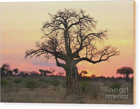 Baobab Tree At Sunset  Wood Print