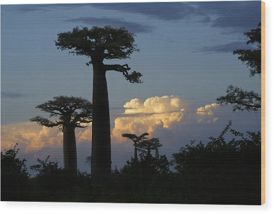 Baobabs And Storm Clouds Wood Print