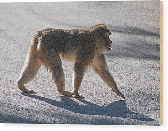 Barbary Macaque, Morocco Wood Print by Jim Wright
