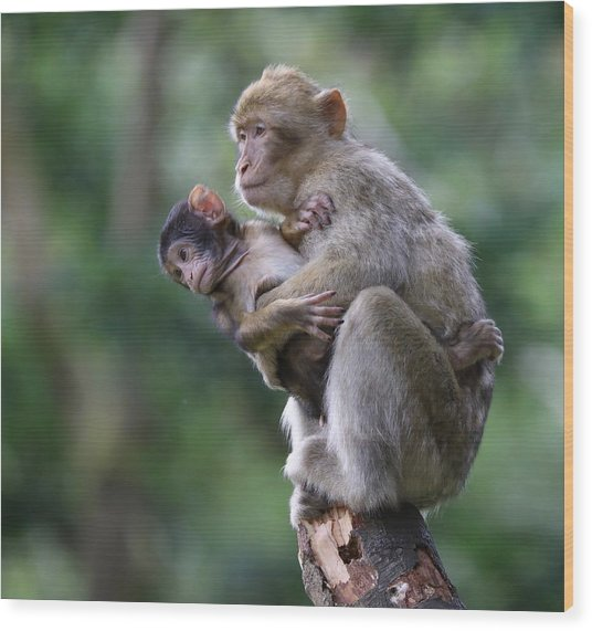 Barbary Macaque Mother And Baby Wood Print