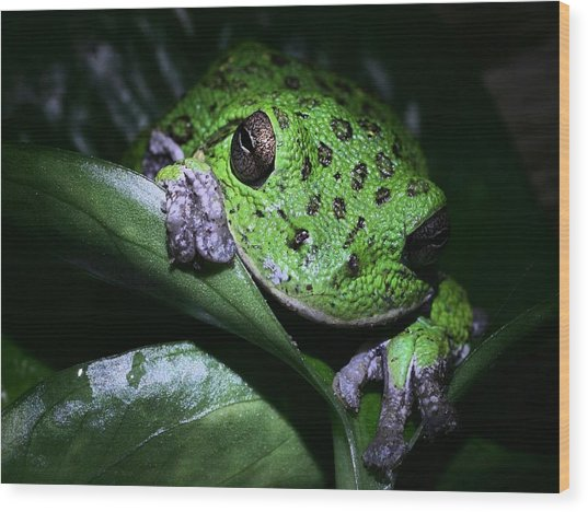 Barking Treefrog Wood Print by JC Findley
