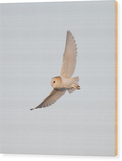 Barn Owl Hunting Wood Print