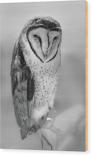 Barn Owl II Wood Print