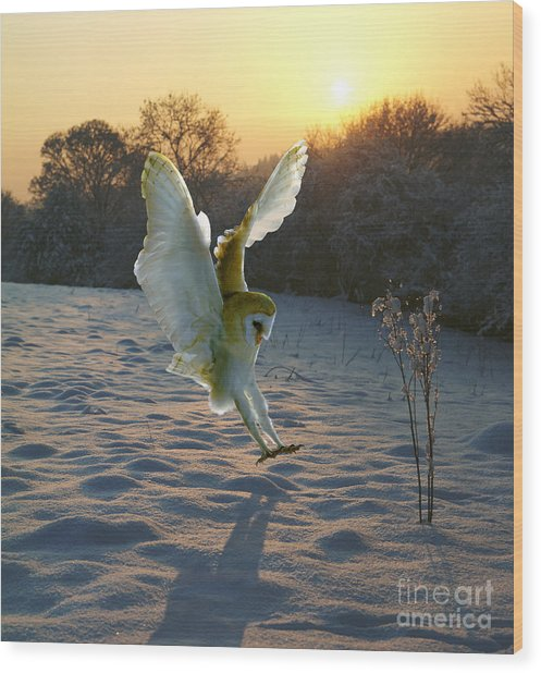 Barn Owl In Snowy Sunset Wood Print