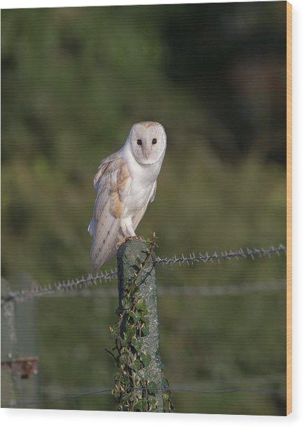 Barn Owl On Ivy Post Wood Print