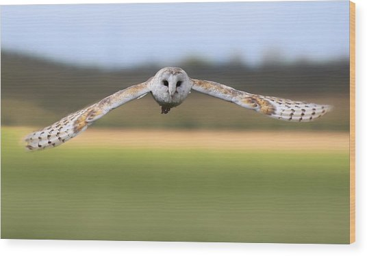 Barn Owl Swoop Wood Print