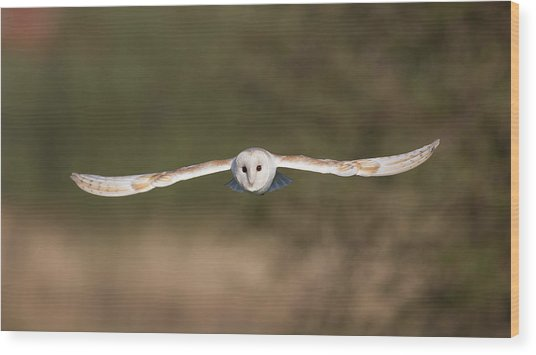 Barn Owl Wingspan Wood Print