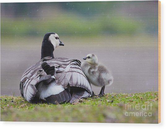 Barnacle Goose With Chick In The Rain Wood Print
