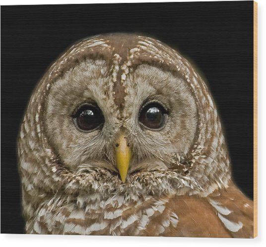 Barred Owl Fledgling Wood Print