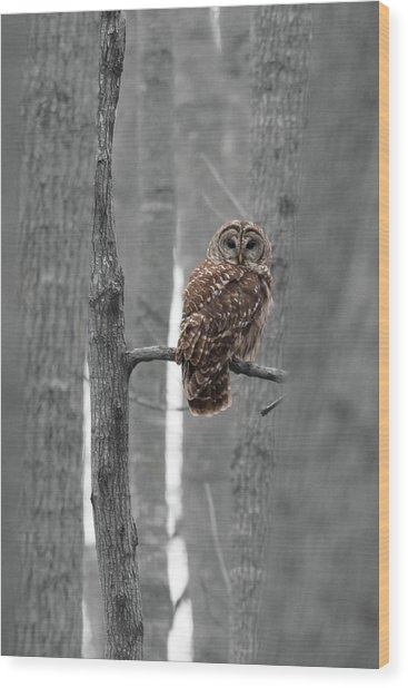 Barred Owl In Winter Woods #1 Wood Print