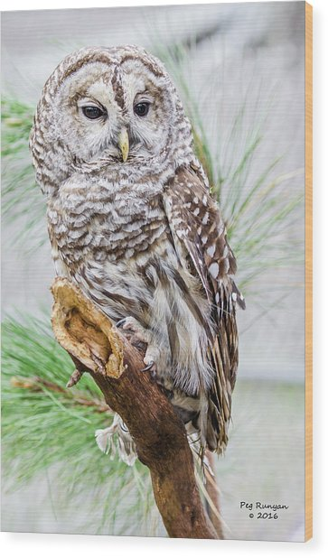 Barred Owl On A Branch Wood Print